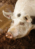 Pig and mud Stock Image