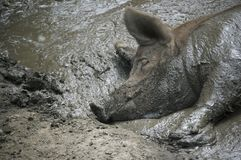 Pig in the mud. Sleeping Pig in the mud, mucked  up all over Stock Image