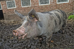 Pig in the mud Royalty Free Stock Photography