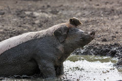 Pig in the mud. On a farm in Finland Stock Images