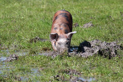 Pig in a mud farm scene Stock Images