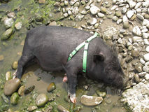 Pig in the mud Stock Image