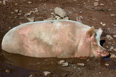 Pig in Mud Hollow 01 Royalty Free Stock Images