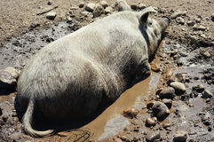 Pig in Mud Stock Photography