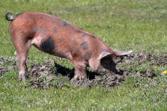 Pig in a mud Stock Photos