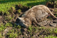 Pig in the mud. The pig lies in the mud near the grass. Pig in the mud..journey to Georgia Royalty Free Stock Photography