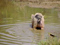 A pig in the mud of a pond Royalty Free Stock Image