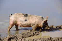 A pig in the mud of a pond Royalty Free Stock Images