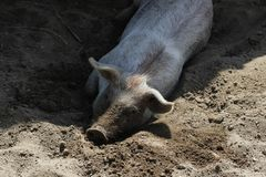 Pig in the mud. Pig rolling in the mud Royalty Free Stock Images