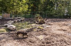 Pig in the mud. Small pig standing in the mud. Public park, city of Lausanne, canton Vaud, Switzerland Stock Image