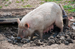 Pig in muddy pen Royalty Free Stock Image