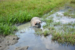 Pig in muddy water Royalty Free Stock Photos