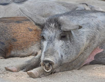Pig nap Royalty Free Stock Images