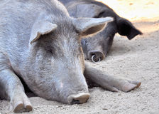 Pig nap Royalty Free Stock Image