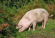 Pig in the New Forest Woodland Royalty Free Stock Images
