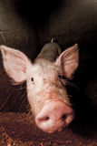Pig nose. Distorted pig nose approaching the camera lens Royalty Free Stock Photos