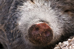 Pig nose Royalty Free Stock Photo