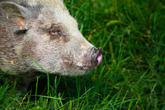 Pig nose Stock Images