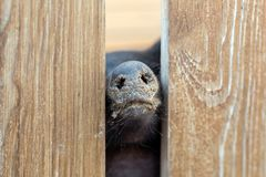 Pig nose peeking through wooden fence at farm. Piglet sticking snouts . Intuition or instinct feeling concept. To pook snoot into. Something stock images