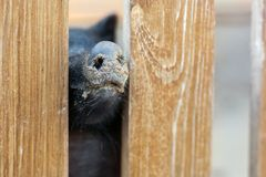 Pig nose peeking through wooden fence at farm. Piglet sticking snouts . Intuition or instinct feeling concept. To pook snoot into. Something stock photo