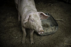 Pig nose in the pen. Shallow depth of field. Stock Photography