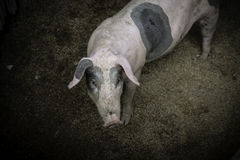 Pig nose in the pen. Shallow depth of field. Royalty Free Stock Images