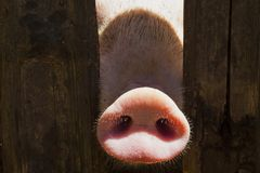 Pig nose in wooden fence. Young curious pig smells photo camera. Funny village scene with pig. Agriculture banner. Brown wood fence of corral. Pink skin of royalty free stock photo