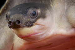 Pig-nosed turtle / Carettochelys insculpta Stock Images