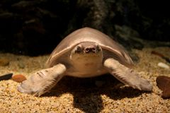 Pig nosed turtle Carettochelys insculpta stock images