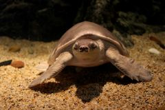 Pig nosed turtle Carettochelys insculpta royalty free stock images