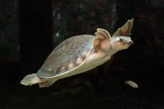 Pig-nosed turtle or  Carettochelys insculpta Stock Photo