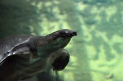 Pig Nosed Turtle stock photography