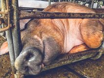 Pig in iron stalls. Pig is in old and dirty iron stalls Royalty Free Stock Images