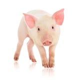 Pig On White Royalty Free Stock Photo
