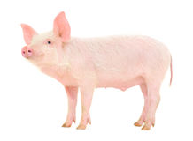 Free Pig On White Stock Photography - 27209682
