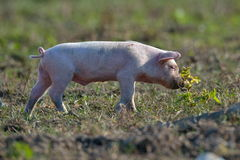Pig outdoor. On field in spring Royalty Free Stock Image