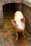 Pig outside pigpen Royalty Free Stock Images