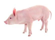 Pig på white Royaltyfri Foto