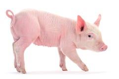 Pig på white Royaltyfria Bilder