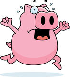 Pig Panic Stock Photos