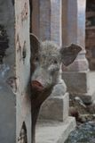 Pig peeping out from behind wall Stock Image