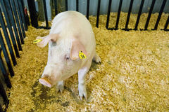 Pig in pen Royalty Free Stock Images