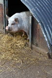 Pig pen. Lonely pig in his pen Royalty Free Stock Photos