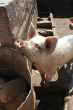Pig in pen. Pig in pigpen on a hot day, palpa-peru Stock Photos