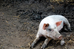 Pig in the pen. Cute pig with muddy paws resting in a pig pen royalty free stock images