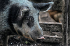 Pig with a pen Royalty Free Stock Images