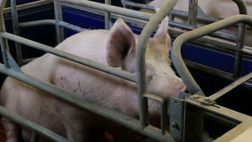 Pig in the pen. Breeding sows in stalls on modern pig farm,video clip stock video footage