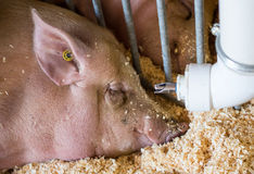 Pig in a pen Royalty Free Stock Image