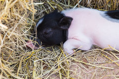 Pig in a pen Royalty Free Stock Photo