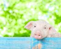Pig. Pets let farm animals barn livestock Royalty Free Stock Images